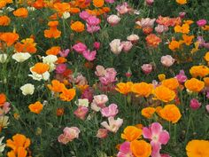 Mission Bells Poppies. Not for eating, but a California favorite.