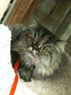 Chocho #Persian#Cat