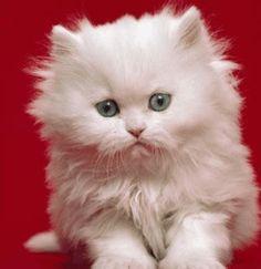 gatos persas 8 animais