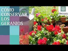 Cómo conservar los geranios | Balcones y terrazas - YouTube