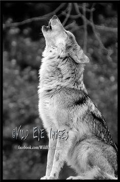 Majestic Gray Wolf Howling