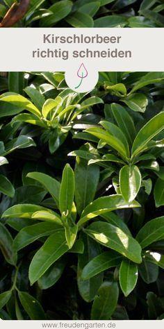 Kirschlorbeer richtig schneiden - Zeitpunkt, Schnitttechnik #Kirschlorbeer #Hecke #Garten #Pflanzen