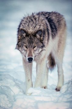 Portrait of a wolf by Instinct Film #twilightaesthetic Via Flickr: Why yes, my paws act as snow shoes!