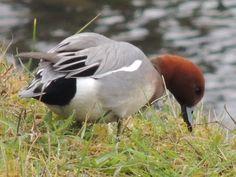 http://peter-ertl.com/birds/images/pfeifente-2.jpg