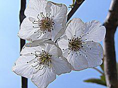 3 flores de almendro