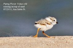 the endangered Piping Plover! How cute!! one of Michigan's beach side birds