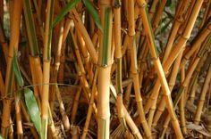 Phyllostachys bambusoides 'Castillonis' Bamboo Species, Backyard, Ideas Para, Spa, Pictures, Plants, Photos, Patio, Photo Illustration