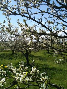 Bland fruktträden maj 2014