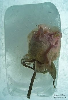 A small pink rose first dried in a dehydrator then frozen in an ice cube tray. Flower Photography, Seed Pods, Art Boards, Cube, Berries, Frozen, Tray, Pink, Image