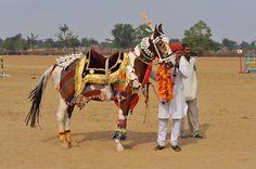 Display of dancing horses at the 81st eEndurance event, Dundlod, Rajasthan, India. Michael Huggan Photography.