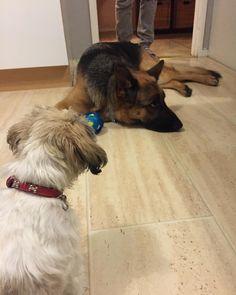 German Shepherd Fan Page - www.gsd-store.com <- link in the description! #gsd#germanshepherdsofinstagram #germanshepherdoftheworld #germanshepherd#dog#doggy#instadog #instapic#picoftheday #owczarekniemiecki #pies#k9#big#picoftheday #germanshepherdonline #germanshepherd4life #l4l#like4like #likeforlike #likeme#f4f#followforfollow #follow4follow #followme by germanshepherdfanpage