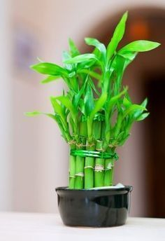 A bathroom is often a dark, humid environment that's not conducive to house plants - but these 16 plants thrive in your bathroom and add a beautiful pop of life and greenery. Bamboo Plants, Cool Plants, Garden Plants, Indoor Plants, Vegetable Garden, Inside Plants, Lucky Bamboo, Bathroom Plants, Ikebana