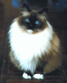 A Ragdoll.  A friend of mine had a champion named ROMEO. He's one of the most beautiful cats I have ever seen. Sweet temperament too.