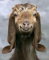 Goat with curly ears