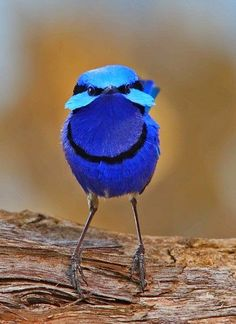Splendid Fairywren ~ Dreamy Nature