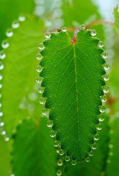 Dew Drops via flowersgardenlove