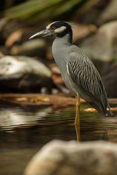 Yellow Crowned Night Heron | Birdwatching at Anse Chastanet Resort, St. Lucia