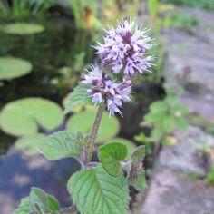 Watermunt - Mentha aquatica
