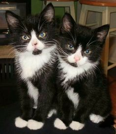 Adorable tuxedo kittens / WovelyTap the link to check out great cat products we have for your little feline friend! - Tap the link now to see all of our cool cat collections! Kittens And Puppies, Cute Cats And Kittens, I Love Cats, Crazy Cats, Cool Cats, Kittens Cutest, Black And White Kittens, Ragdoll Kittens, Tabby Cats