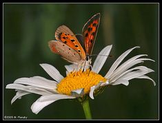 White-Daisy-flowers-29860208-393-299.jpg (393×299)