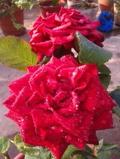ROSES FROM ROOF  GARDEN