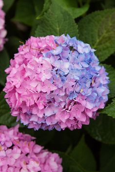 Did you know you can change the color of your hydrangeas? With Endless Summer® Color Me kits, you can produce pink or blue blooms with ease. Simply scoop, plant, and enjoy! Hortensia Hydrangea, Hydrangea Colors, Hydrangea Care, Hydrangea Flower, My Flower, Hydrangeas, Beautiful Flowers Garden, Pretty Flowers, Beautiful Gardens