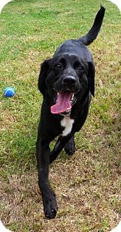 Manteo, NC - Labrador Retriever Mix. Meet Sasha, a dog for adoption. http://www.adoptapet.com/pet/11339615-manteo-north-carolina-labrador-retriever-mix
