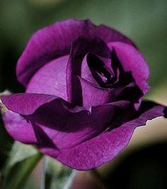 Hybrid Tea Roses Purple Flowers – Famous Last Words Exotic Flowers, Pretty Flowers, White Flowers, Rose Foto, Coming Up Roses, Growing Roses, Hybrid Tea Roses, Rose Bush, Purple Flowers