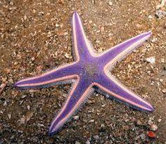 yıldız balığı