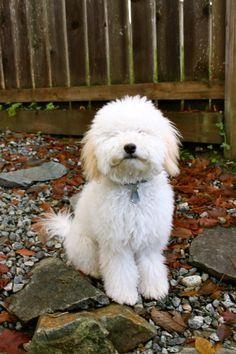 Jax the Mini Whoodle (Mini Poodle x Soft Coat Wheaten Terrier) @ 8 months old