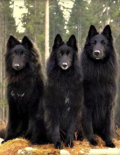 These guys sport a different look, eh? #dogs