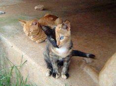 gato con lamitad de la cara de diferente color