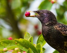 Happy Blackbird - Birds in this case a blackbird currently like to compete with my jam activities and very much like the fruits of Amelanchier laevis (Felsenbirne or sooth shadbush) Cool Photos, Nikon D750, Blackbird, Fruit, Amazing, Birds, Animals, Activities, Happy