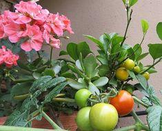 Garden, Tomato