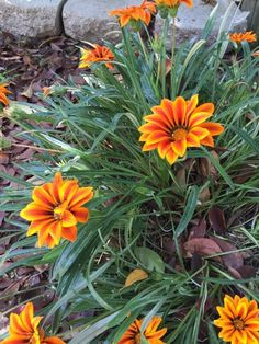 Gazania Hybrid (gazania): Your plant appears to be one of many gazania hybrids. It is  prized for its colorful display of daisy-like flowers. Flowers are single-colored or bi-colored in late spring-early summer from gray-green or green foliage. Does best in full sun and moderate to regular water. Wonderful as a ground cover or in hanging baskets.