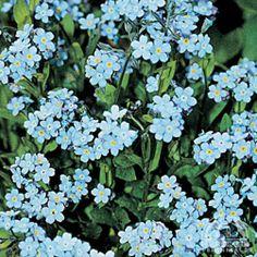 Myosotis sylvatica 'Victoria Blue'  Forget-me-not
