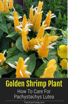 The Golden Shrimp Plant is an upright tropical evergreen shrub with showy, orange, gold or yellow flowers. Learn how to grow and care for shrimp plants. Rare Plants, Exotic Plants, Exotic Flowers, Tropical Flowers, Yellow Flowers, Lilies Flowers, Cactus Flower, Tropical Landscaping, Landscaping Plants