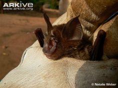 Guinean horseshoe bat
