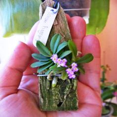 Packing Orchid seeds rare and mini Phalaenopsis Flower Seeds For Home Garden Decoration Indoor Plants Flowers Sementes Rare Orchids, Rare Flowers, Exotic Flowers, Beautiful Flowers, Purple Flowers, Orchid Seeds, Orchid Plants, Flower Seeds, Flower Plants