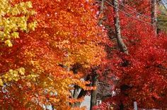 Three separate maple trees, three distinct fall colors: (left to right) yellow, orange, and red. Where can you get such varied autumn color displays except from maples? Is it any wonder, then, that leaf peepers idolize the mighty maple? -- http://landscaping.about.com/cs/fallfoliagetrees/a/fall_foliage7.htm