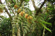 Find help & information on Lomatia ferruginea fuinque from the RHS Rhs Hampton Court, Plant Health, Summer Plants, Small Trees, Trees And Shrubs, Evergreen, The Hamptons, Old Things, Tropical