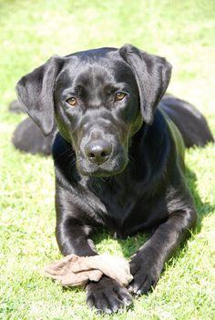 Labrador Retriever   The Definitive Ranking Of Dog Breeds