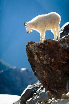 llbwwb: (via 500px / Mountain goat overlooking the Blue Glacier by Spencer L. James)