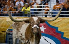 """Bevo XIV wears a """"Mack"""" halter at the Alamo Bowl in honor of Mack Brown's final game as Texas Football head coach."""
