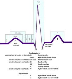 ECG complex and its connection with physiology. Nursing School Tips, Nursing Notes, Nursing Tips, Nursing Schools, Funny Nursing, Medical School, Cardiac Nursing, Pharmacology Nursing, Respiratory Therapy