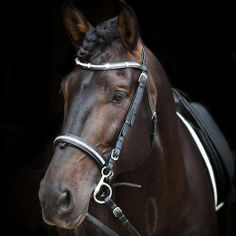 Equessential bridle and bling brow band just adds to the beauty of this lovely Iberian stallion.