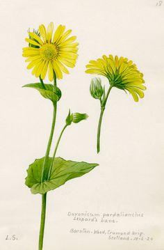 Lilian Snelling -- Doronicum pardalianches -- Lilian Snelling -- Artists -- RHS Prints
