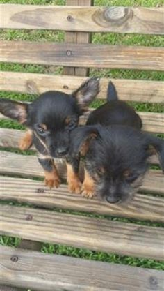 CHORKIES Yorkie / Chihuahua Mix Chorkies yorkie / chihuahua mix  dewormed…