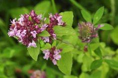 Wildflower Marjoram, Wild Irish Wild Flora Wildflowers of Ireland Wild Flowers, Flora, Herbs, Plants, Marjoram, Master Gardener, Flowers