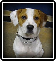 Indian Trail, NC - Hound (Unknown Type) Mix. Meet Beau, a dog for adoption. http://www.adoptapet.com/pet/14060179-indian-trail-north-carolina-hound-unknown-type-mix
